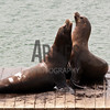 California sea lions (Zalophus californianus) <br /> Pier 39, Fisherman's Wharf, San Francisco, CA