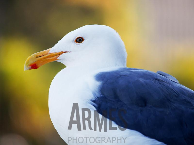 Seagull<br /> San Francisco, CA