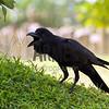 Common Raven (Corvus corax)<br /> Mumbai, India