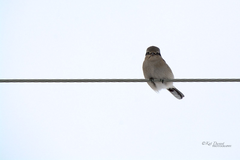 The Elusive Northern Shrike