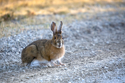 Bunny with very large feet snacking on the side of the road...