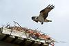 Wolfe Island Osprey
