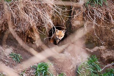 Fox Family  / Spring 2015