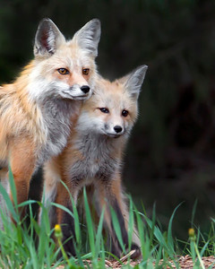 This Red Fox mother and juvenile photograph was captured in Yellowstone National Park, Wyoming (6/12).  This photograph is protected by the U.S. Copyright Laws and shall not to be downloaded or reproduced by any means without the formal written permission of Ken Conger Photography.