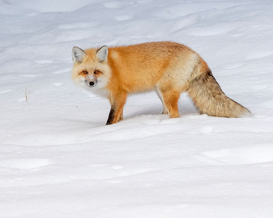 Yellowstone National Park Red Fox