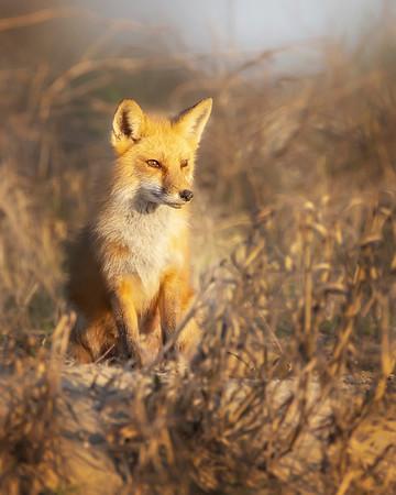 Fort Monroe Red Fox Vixen