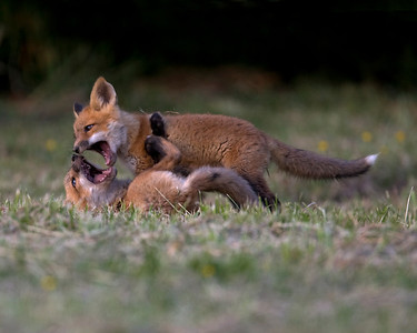 This photograph of wrestling Red Fox kits was captured at a den site in Lanexa, Virginia (4/08).   This photograph is protected by the U.S. Copyright Laws and shall not to be downloaded or reproduced by any means without the formal written permission of Ken Conger Photography.