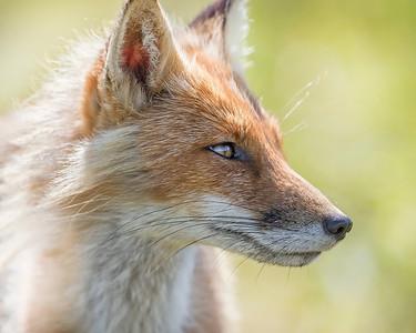 Alaska Peninsula Fox