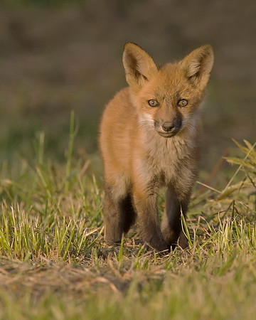 Virginia Fox Kit