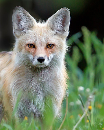 This Red Fox photograph was captured in Yellowstone National Park, Wyoming (6/12).  This photograph is protected by the U.S. Copyright Laws and shall not to be downloaded or reproduced by any means without the formal written permission of Ken Conger Photography.