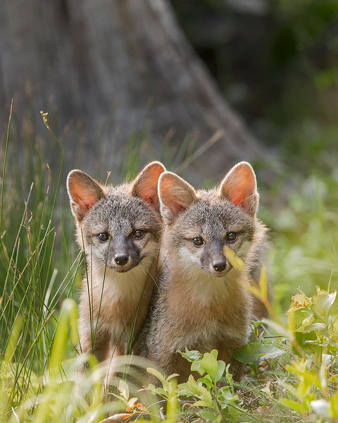 This photograph of gray fox kits was captured in Lanexa, Virginia (6/15).     This photograph is protected by the U.S. Copyright Laws and shall not to be downloaded or reproduced by any means without the formal written permission of Ken Conger Photography.