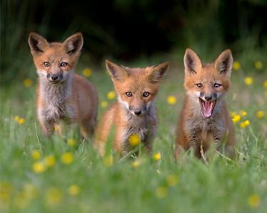 Virginia Fox Kits