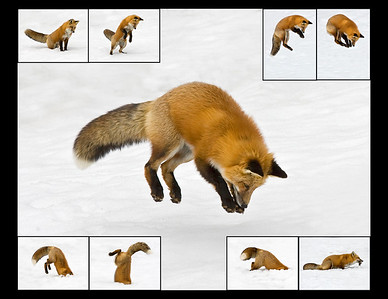 Watched this fox diligently hunt for lemmings in the Yukon late one afternoon.  This photo is a composite of him in the different positions in his attempts to capture his prey under the snow (4/09). Note: Backgrounds digitally altered to provide all snow backgrounds for uniform appearance.  This photograph is protected by the U.S. Copyright Laws and shall not to be downloaded or reproduced by any means without the formal written permission of Ken Conger Photography.