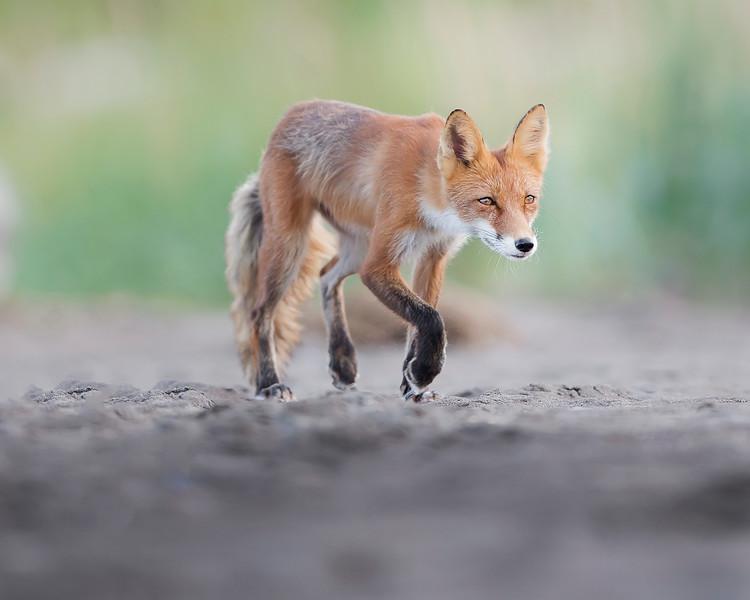 Lake Clark National Park Red Fox