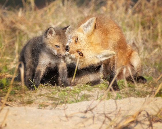 Fort Monroe Red Fox Vixen and Kit