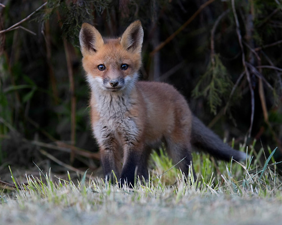 This photograph of a Red Fox kit was captured at a den site in Lanexa, Virginia (4/08).   This photograph is protected by the U.S. Copyright Laws and shall not to be downloaded or reproduced by any means without the formal written permission of Ken Conger Photography.
