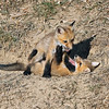 IMG_0522<br /> Red Fox Kits<br /> Boulder County,colorado
