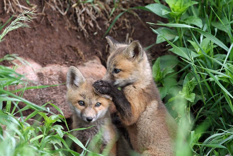 Fox Kits.<br /> Lyons,Colorado
