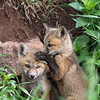 Fox Kits.<br /> Lyons,Colorado