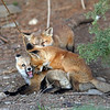 Fox Kits..Boulder County,Colorado
