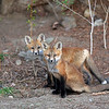 Fox Kits<br /> Boulder County,Colorado
