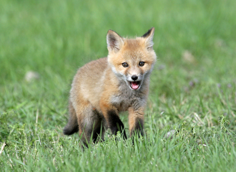 Fox Kit<br /> Boulder County,Colorado.