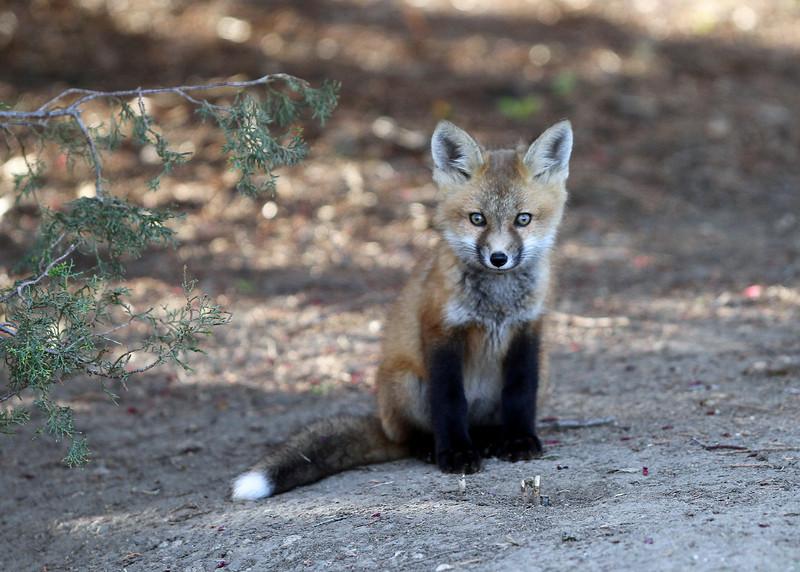 Fox Kit<br /> Nice eyes<br /> Boulder County,Colorado