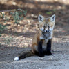 Fox Kit<br /> Nice eyes<br /> Boulder County,Colorado