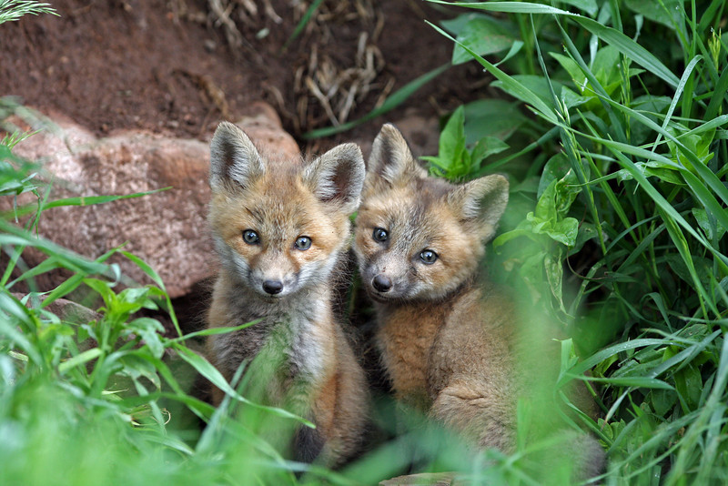 Young Fox Kits,their eyes are still blue.<br /> Lyons,Colorado