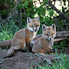 Fox Kits,close to their hole.<br /> Boulder County,Colorado