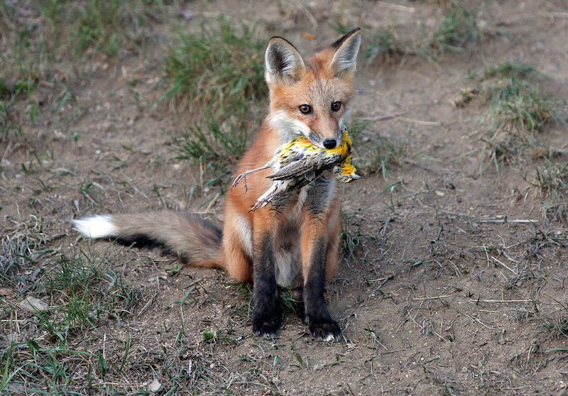 Young Red Fox,with a meadowlark.<br /> Boulder County,Colorado
