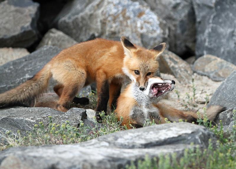 IMG_0635  Fox Kits