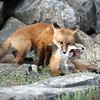 IMG_0635  Fox Kits playing
