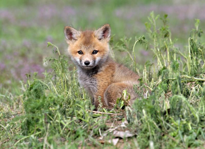Fox Kit..<br /> Boulder County,Colorado