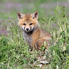 Fox Kit..<br /> Boulder County,Colorado