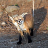 Fox Kit<br /> Boulder County,Colorado