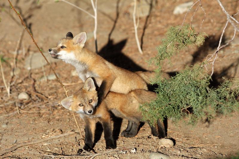 Fox Kits<br /> Boulder County,Colorado