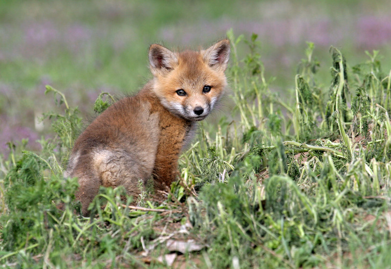 Fox Kit,<br /> Boulder County,Colorado