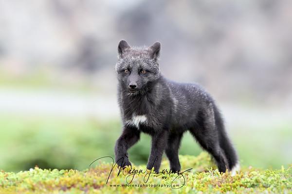 Silver Fox Kit walking in Newfoundland, Canada