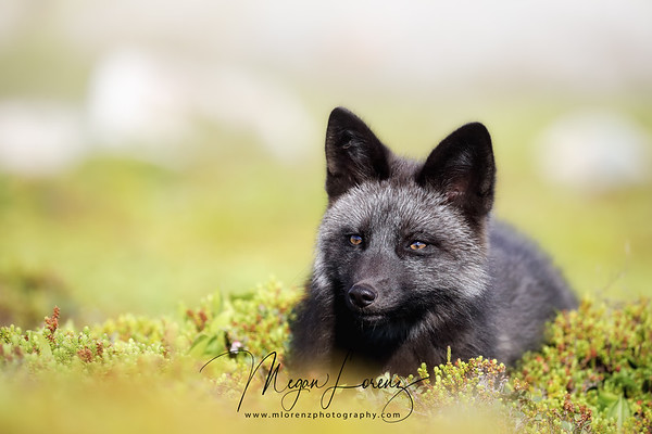 Silver Fox in Newfoundland, Canada.  The silver fox is a melanistic form of the red fox (Vulpes vulpes).