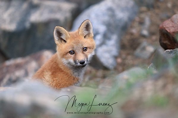 Curious Red Fox Kit in Algonquin Provincial Park