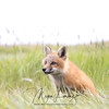 Red Fox Kit in Newfoundland, Canada