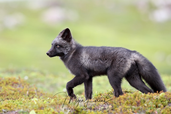 Silver Fox in Newfoundland, Canada.  The silver fox is a melanistic form of red fox (Vulpes vulpes).