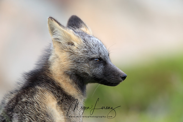Cross Fox Kit in Newfoundland, Canada