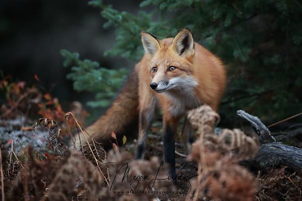 Red Fox in Algonquin Provincial Park in Ontario, Canada.