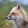 Wet Red Fox in Newfoundland, Canada
