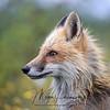 Wet Red Fox in Newfoundland, Canada