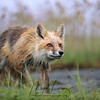 Wild Red Fox in Newfoundland, Canada