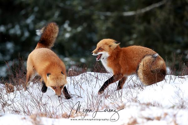 Red Fox Fight in Algonquin Provincial Park, Ontario, Canada