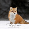 Red Fox in Algonquin Provincial Park, Ontario, Canada